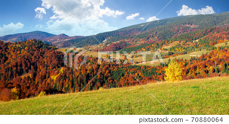 countryside scenery in fall season. trees on grassy mountain hills in fall colors. beautiful sunny weather with fluffy clouds on the sky 70880064