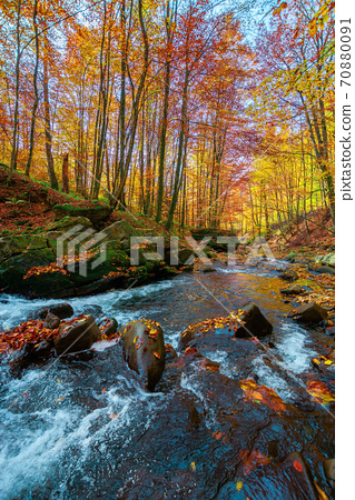 mountain stream in autumn forest. water flow among the rocks. trees in colorful foliage. sunny weather in the morning. beautiful nature scenery 70880091