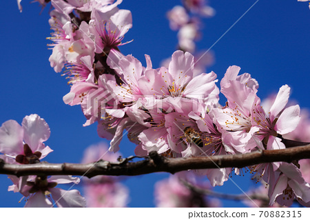 Almond trees, Prunus dulcis blooming, southern wine street, Gimmeldingen Germany 70882315