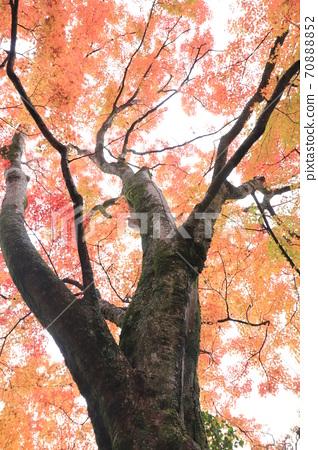 Shikoku Sacred Ground No. 88 Yuganji Temple A large tree of bright red maple leaves in Okuboji Temple 70888852