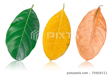 collection autumn leaves isolated on white background. 70908511