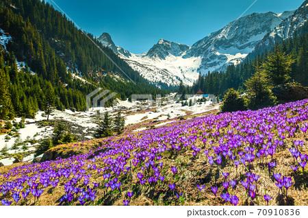 Spring landscape with purple crocus flowers, Fagaras mountains, Carpathians, Romania  70910836