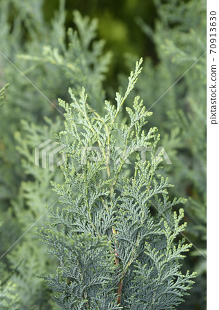 Lawsons Cypress Columnaris Glauca 70913630