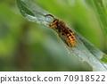 十月份的生物昆蟲Kebukasuzumebachi(Kiirosuzumebachi)。一個長觸覺的雄性在葉子上等著雌性? 70918522