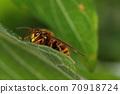 생물 곤충 케부 개 말벌 (키이로스즈메바찌) 수컷입니다. 긴 더듬이, 갸름한 얼굴이 부드러운? 70918724