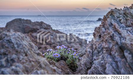 호미반도의 가을 꽃 70922186