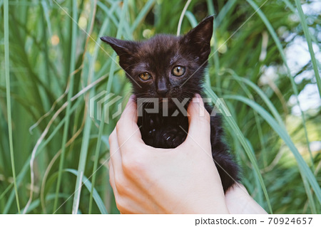 Adorable little black kitten in female hands, close up. 70924657