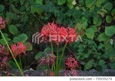 Blooming cluster amaryllis 70939278