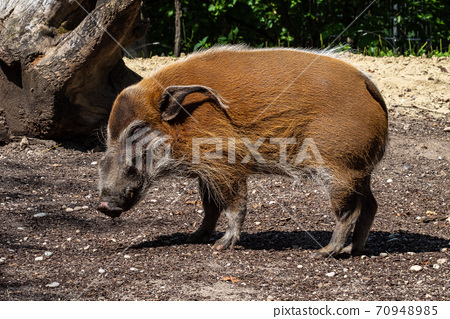 Red river hog, Potamochoerus porcus, also known as the bush pig. 70948985