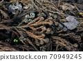 삼나무 낙엽 상어 상어 70949245