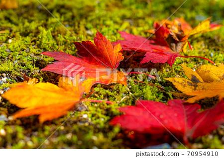 [가을 소재] 이끼 위에 떨어진 단풍 낙엽 【나가노 현】 70954910