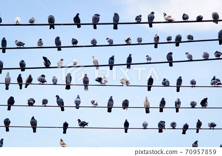 Pigeons on electric cable in blue sky 70957859