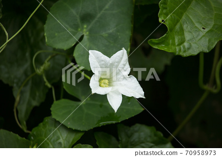 Flower Ivy Gourd  Coccinia grandis 70958973