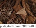생물 곤충 나미텐아쯔바 가로줄이 모호한 것은 남성. 애벌레 食草는 누스비토하기이라고합니다 70969403