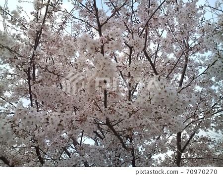 일본의 벚꽃 70970270