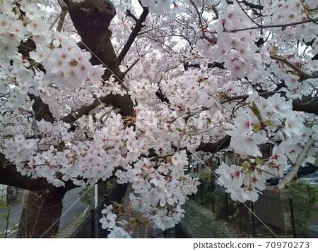 일본의 벚꽃 70970273