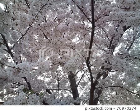 일본의 벚꽃 70970274