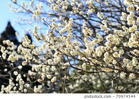 White plums that have begun to bloom in the Showa forest in winter 70974544