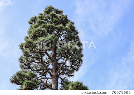 Pine trees towering in the blue sky 70979609