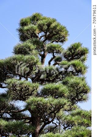 Towering pine tree 70979611