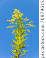 One Solidago altissima 70979615