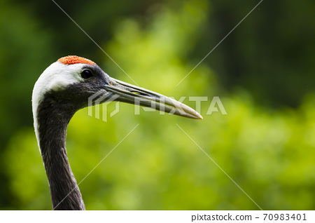 Portrait of a red-crowned crane. Symbol of luck, longevity and fidelity, is one of the rarest crane in the world 70983401