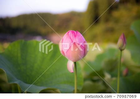 연꽃 밝은 함 70987069