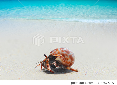 Hermit crab walking on the beach. 70987515