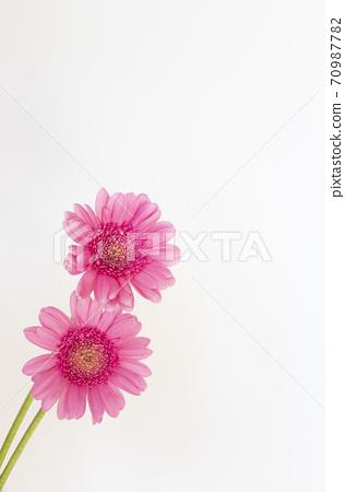 兩個粉色非洲菊 70987782