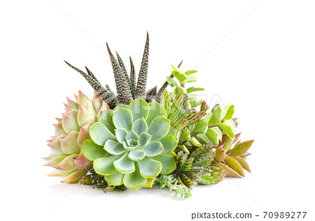 Centerpiece arrangement of green and pink echeveria succulent plants white background 70989277