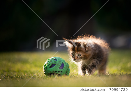 playful calico maine coon kitten curious about ball 70994729