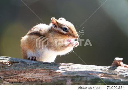 """다람쥐 """"야생 동물"""" 71001824"""