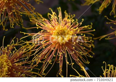 像水母一樣的菊花 71004921