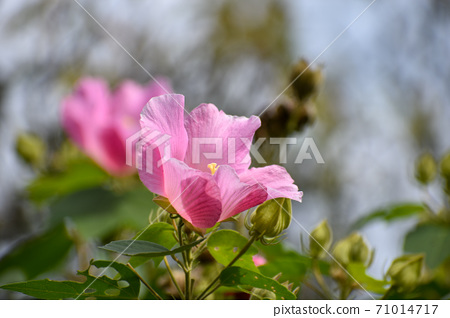 Pink Furong flowers 71014717