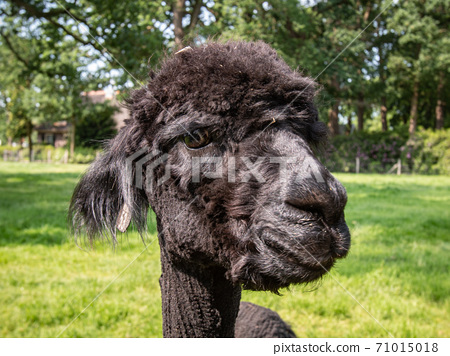 portrait of a shaved alpaca 71015018