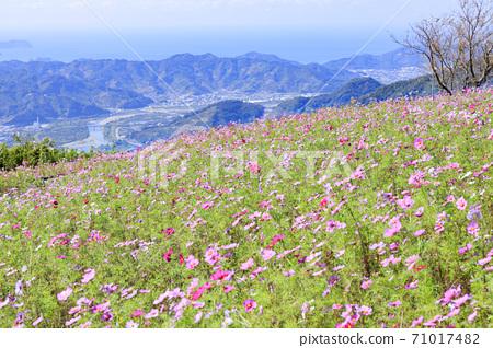 鷲ヶ峰 코스모스 파크 만개의 코스모스 밭 71017482