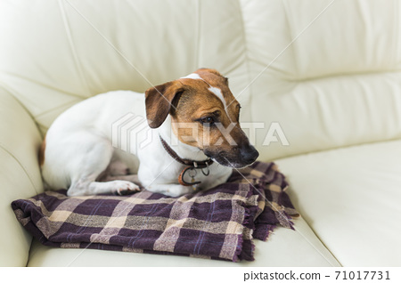 Close up jack russell terrier dog sleepy muzzle portrait on the plaid 71017731