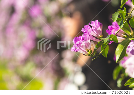 夢幻紫的蒜香藤 71020025