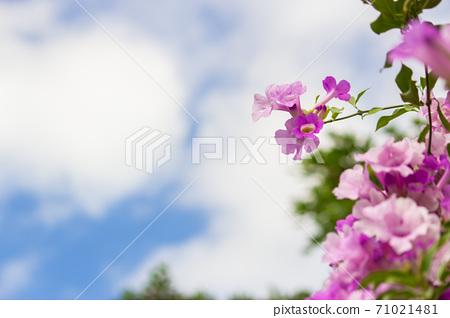 夢幻紫的蒜香藤 71021481