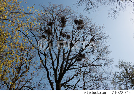 crows nests on tree branches 71022072