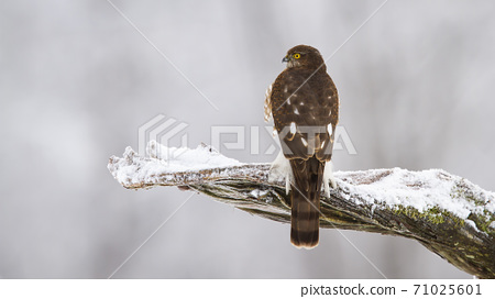 Eurasian sparrowhawk sitting on branch in winter nature 71025601