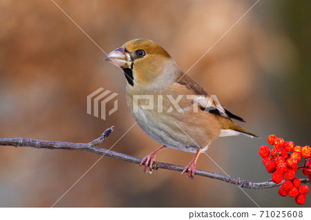 Little hawfinch sitting on twig in autumn nature. 71025608