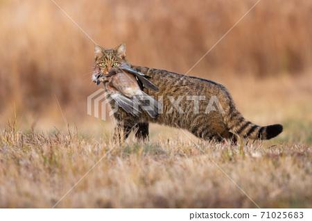 Fierce european wildcat holding dead bird in mouth in autumn. 71025683