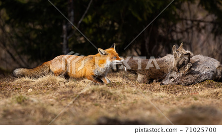 Red fox tearing prey on field in autumn nature. 71025700