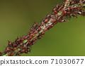 生物昆蟲似乎附屬於Kiku家族的台灣Higenagaabramushi和Nogeshi。生菜上的天然害蟲 71030677