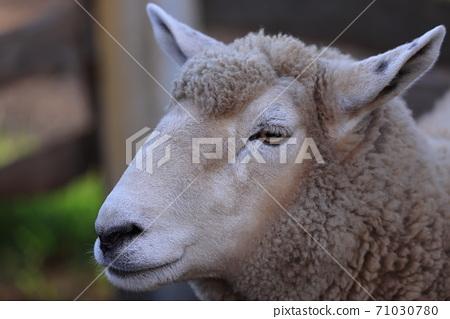 [長野縣] za澤農場羊 71030780