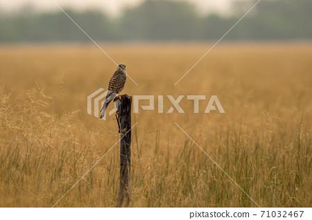 Common kestrel or european kestrel or Falco tinnunculus perched on branch during winter migration at tal chhapar sanctuary churu rajasthan india 71032467
