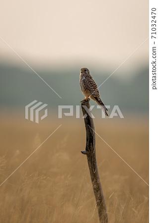 Common kestrel or european kestrel or Falco tinnunculus perched on branch during winter migration at tal chhapar sanctuary churu rajasthan india 71032470
