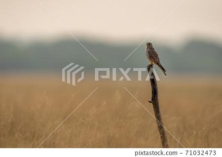 Common kestrel or european kestrel or Falco tinnunculus perched on branch during winter migration at tal chhapar sanctuary churu rajasthan india 71032473