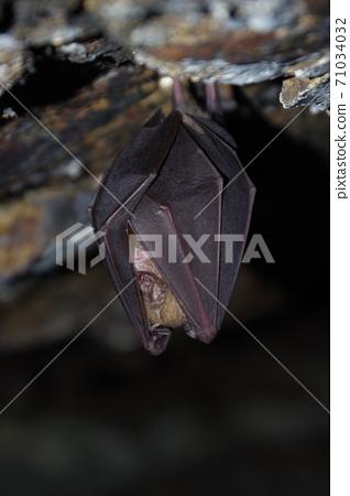 越冬蝙蝠 71034032